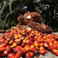 Palmöl Sonnenblumenöl Rapsöl und andere
